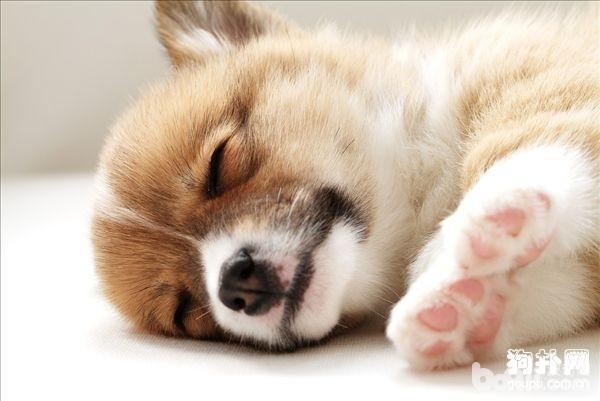 跟人一样  狗狗也会做梦吗?-成犬饲养