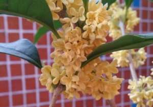 给你介绍这几种又香颜色又好看的桂花品种!